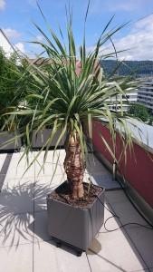 drago palme